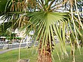 Washingtonia robusta (Arecaceae) 04.jpg