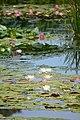 Water lily blooming in the pond of Suigo Sawara Ayame Park, Katori city,Japan.jpg