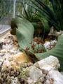 Welwitschia-mirabilis-3.jpg