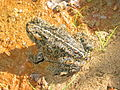 Western Toad 1.JPG