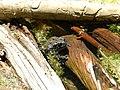 Western Toad in Trout Lake (58f2d9aa-692c-4843-ab57-7e4ac2a7168b).jpg
