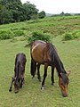 Wet ponies on the edge of Fritham Plain, New Forest - geograph.org.uk - 477164.jpg