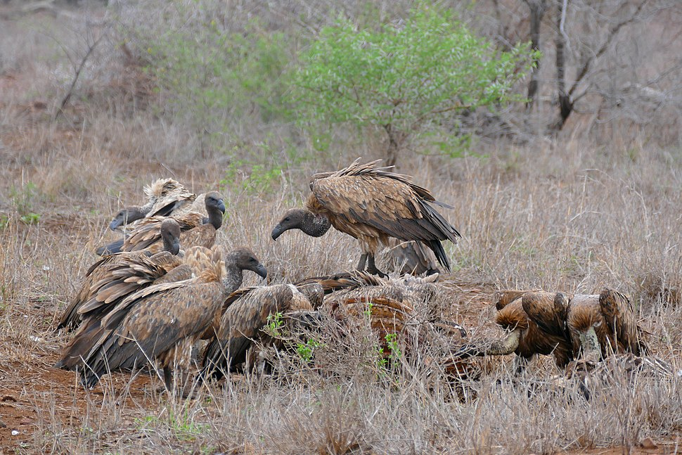 White-backed Vultures (Gyps africanus) on zebra carcass ... (33125984352)
