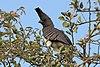 White-bellied go-away bird (Corythaixoides leucogaster).jpg