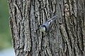 White-breasted Nuthatch (37614326236).jpg