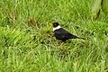 White-collared blackbird TawangIMG 1335.jpg