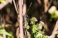White-crowned sparrow (23705681408).jpg