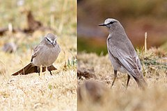 White-fronted Ground-tyrant.JPG