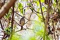 White-throated sparrow (32995911626).jpg