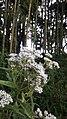 White Eupatorium seratinum.jpg