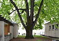 Wiener Naturdenkmal 100 - Winterlinde (Währing) j.jpg