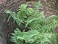 Wijfjesvaren plant (Athyrium filix-femina).jpg