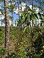 Wild Berries - panoramio (3).jpg