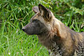 Wild Dog (Lycaon pictus) male (16581105682).jpg
