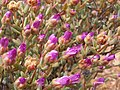 Wildflowers-Richtersveld-PICT2449.jpg