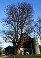 Winter-Linde beim Haus vlg. Kastner in Frojach Nr. 5, Gemeinde Rosegg, Kärnten.jpg
