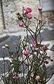 Winter roses - розы морозов не боятся) (16089673688).jpg
