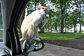 Woburn Safari Park monkey on side-mirror 2011-06-21.jpg