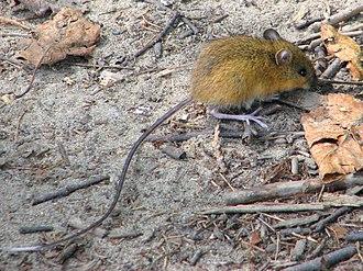 Dipodidae - Woodland jumping mouse (Napaeozapus insignis), Zapodinae
