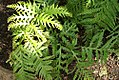 Woodwardia spinulosa 1zz.jpg