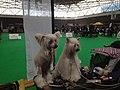 World Dog Show, Amsterdam, 2018 - 28.JPG
