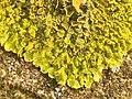 Xanthoria calcicola 57150539.jpg