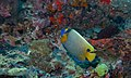 Yellow-face Angelfish (Pomacanthus xanthometopon) (8502718643).jpg