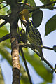 Yellow-spotted Barbet - Ghana S4E1896 (16382665796).jpg