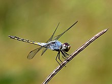Yellow-tailed Ashy Skimmer Potamarcha congener Male by kadavoor.jpg