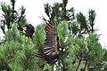 Yellow Tailed Black Cockatoo - panoramio.jpg