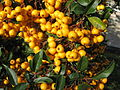 Yellow firethorn.jpg