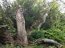 Yew tree near Fames Rough - geograph.org.uk - 583955.jpg