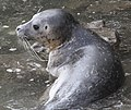 Young Harbor Seal (14965795443).jpg