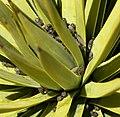 Yucca brevifolia 4.jpg