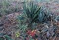 Yucca filamentosa subsp. smalliana fh 1182.14 GA B.jpg