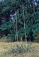 Yucca flaccida fh 1182.15 GA B.jpg