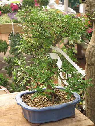 Zanthoxylum - Z. piperitum as a bonsai