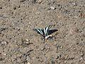 Zebra Swallowtail - Flickr - GregTheBusker.jpg