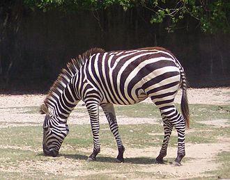 Tail (horse) - The tail of a zebra as well as some other equids, has short hairs along the top of dock, and long hair only grows from the bottom