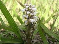 Zeuxine strateumatica (Panoso).jpg