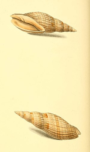Zoological Illustrations Volume I Plate 54.jpg