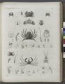 Zoologie. Crustacés. Crabes (NYPL b14212718-1268555).tiff