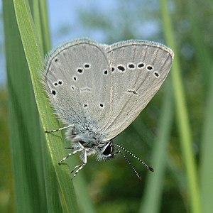 Small blue - Image: Zwerg Bläuling (Cupido minimus) 1 (HS)
