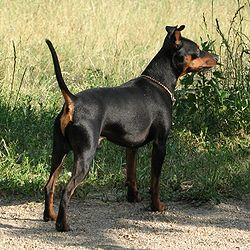 Image illustrative de l'article Pinscher nain