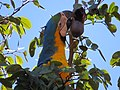 """arara-canindé"" - Ara ararauna - se alimentando de frutos e sementes de jatobá - Hymenaea courbaril 15.jpg"