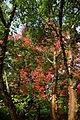 'Acer griseum' Beale Arboretum - West Lodge Park - Hadley Wood Enfield London.jpg