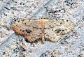 (1708) Single-dotted Wave (Idaea dimidiata) (9271730324).jpg