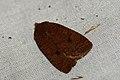 (2258) The Chestnut (Conistra vaccinii) (3970528142).jpg
