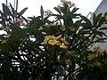 Árbol de Chagualo en el barrio del mismo nombre, Medellin, Colombia.jpg