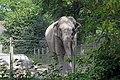 Éléphant d'Asie (Zoo Amiens) Praya.JPG